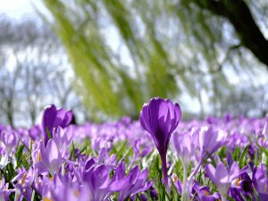 Elfenkrokus Blütenteppich