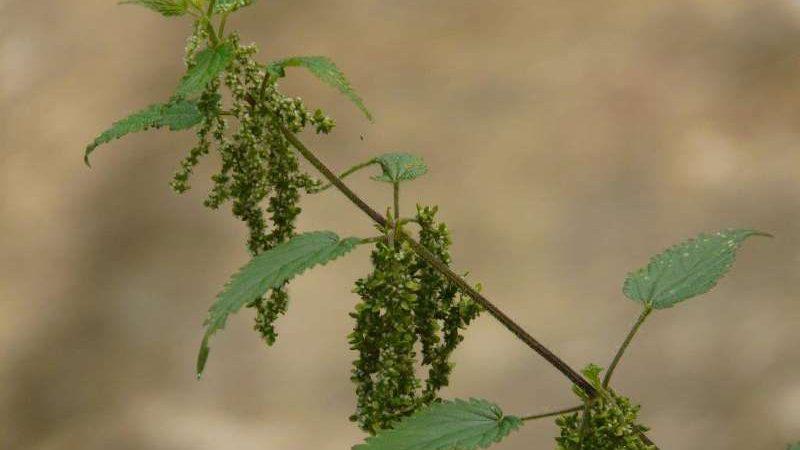 Natur Direkt – Brennnessel neu entdeckt!