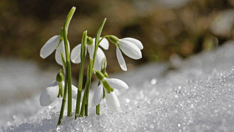 Frühjahrsblüher - Schneeglöckchen im Schnee